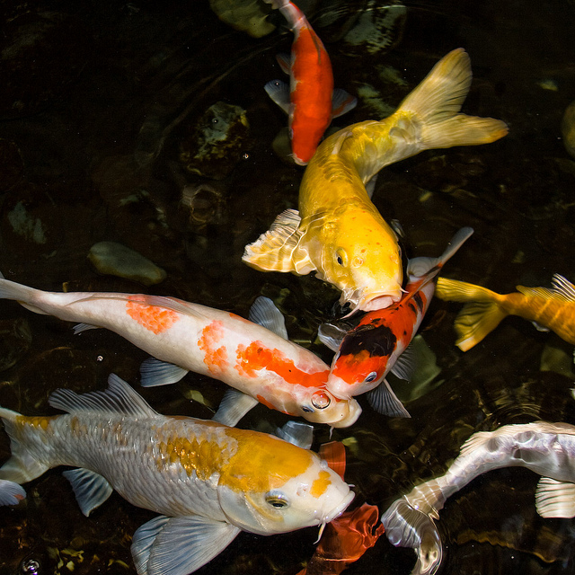 a picture of a mix of koi breeds