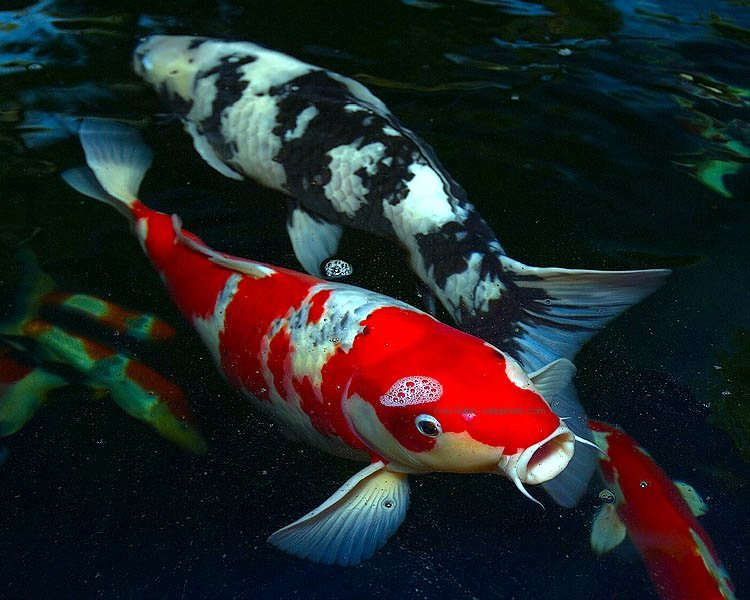 a picture of large Koi fish